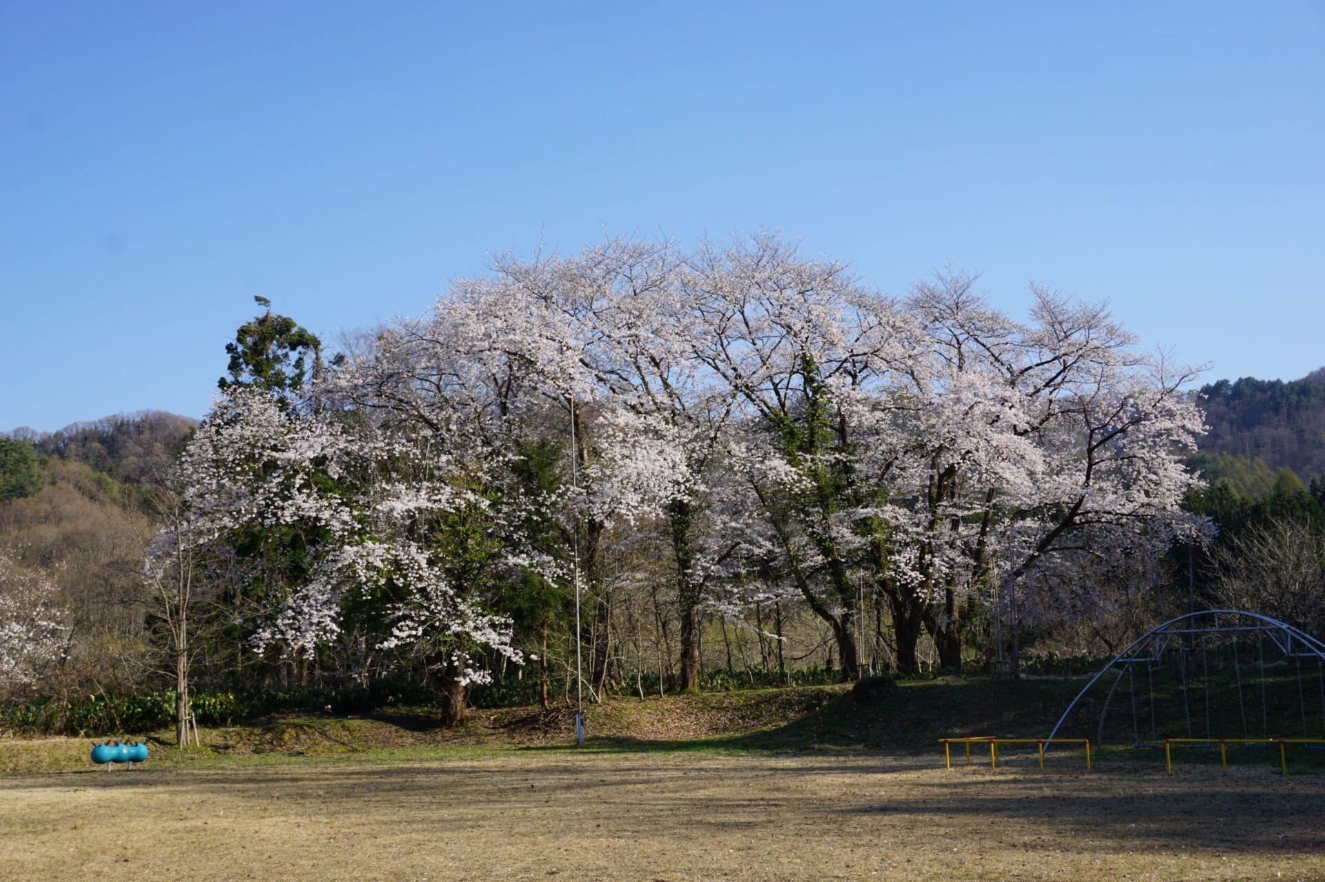 満開の桜 2021