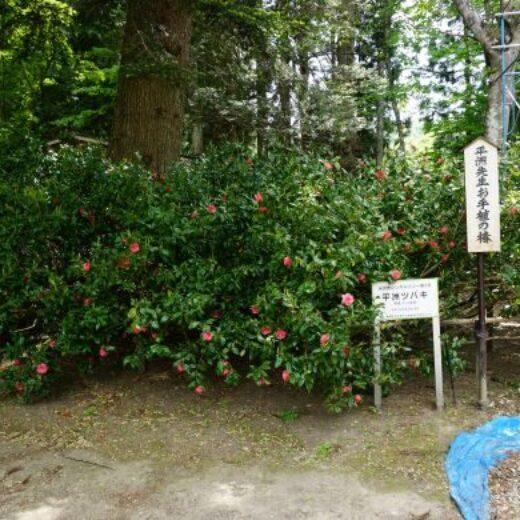 平洲椿が満開